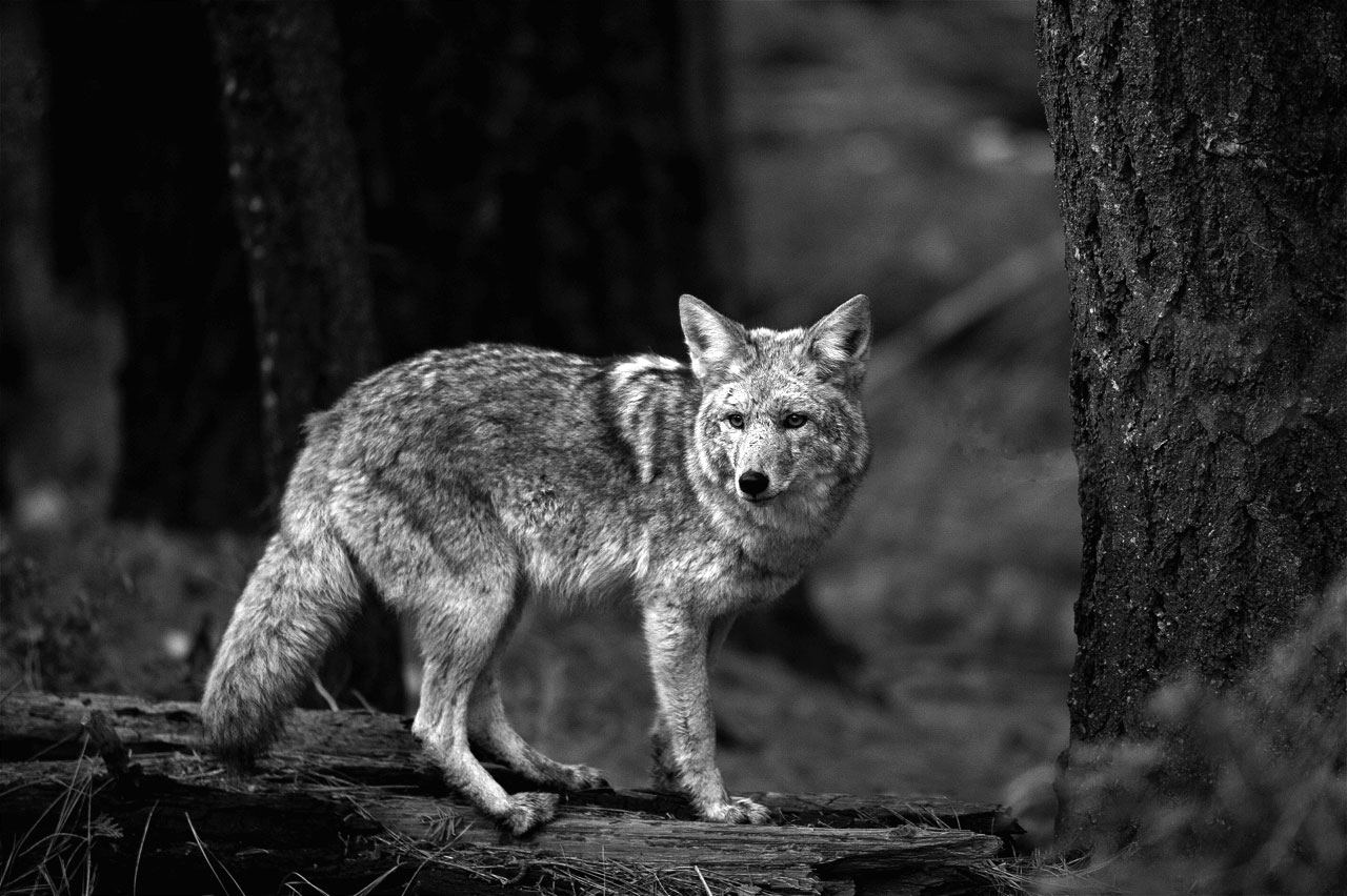 Yosemite-Coyote